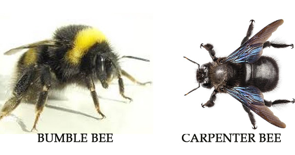 Difference between Carpenter Bees and Bumble Bees