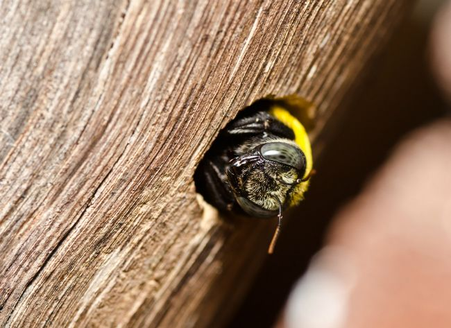 18 Ways To Get Rid Of Carpenter Bees How To Control Wood