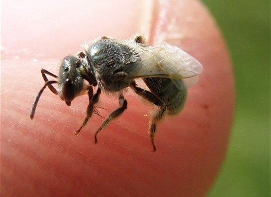 Do You Know That Sweat Bees Sting And How To Get Rid Of Them Naturally