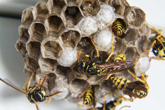 Control and Get Rid of Wasps