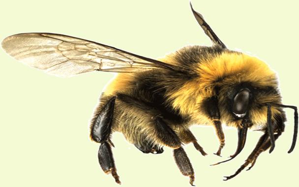 Ble Bee