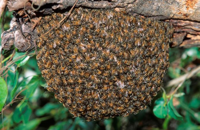 Africanised Honey Bees