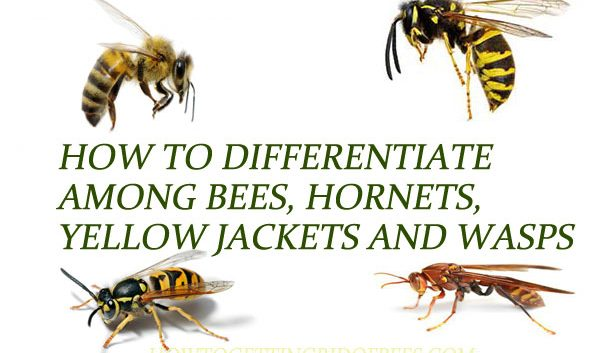Bees-vs-Wasps-vs-Hornets-vs-Yellow-Jackets
