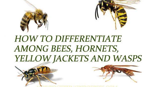 Bees-vs-Wasps-vs-Hornets-vs-Yellow-Jackets
