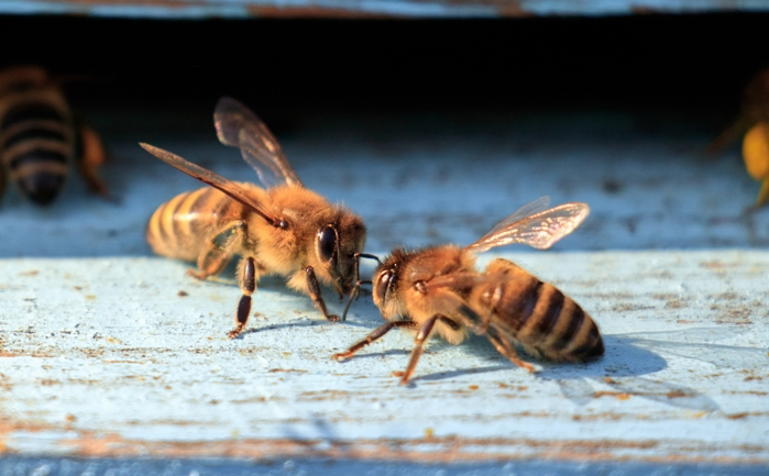 Fear and Phobia of Bees: How to Get Over the Fear of Bees